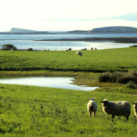 Sheep Ireland Dingle Bay Scenery Countryside Water Sheep Sea Coast Green